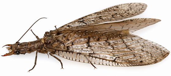 Female, Corydalus texanus? - Corydalus texanus - female