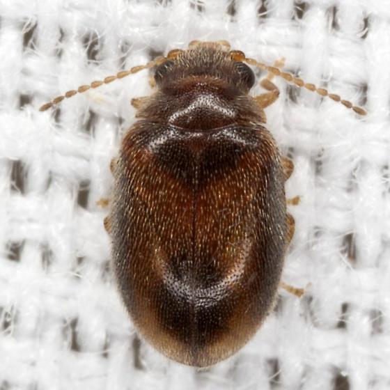 Marsh Beetle - Contacyphon