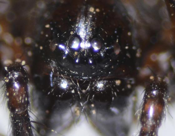 Black - Cybaeus - female