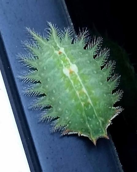 Hairy green bug - Isa textula
