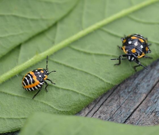 Lady Beetle Look a Like - Murgantia histrionica
