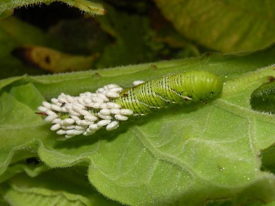 parasitized hornworms - Manduca sexta