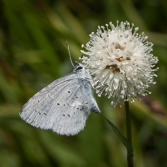 Plebejus icarioides - Boisduval's Blue? - Celastrina echo