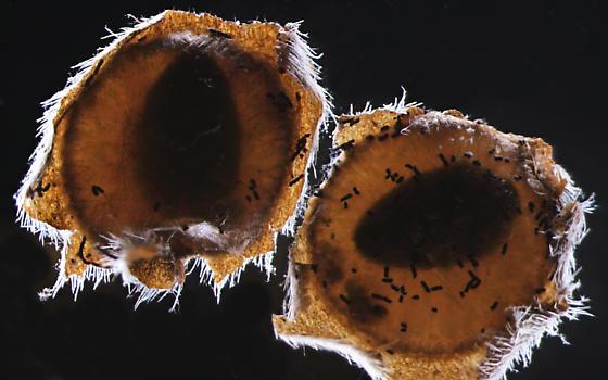 Buprestidae, adults in cells - Pachyschelus laevigatus