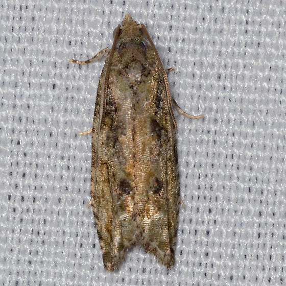 Maple Twig Borer Moth - Proteoteras aesculana