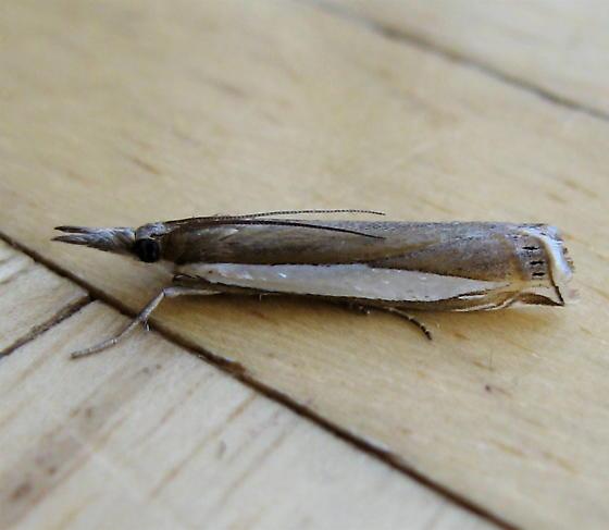 Moth 5 - Crambus cypridalis