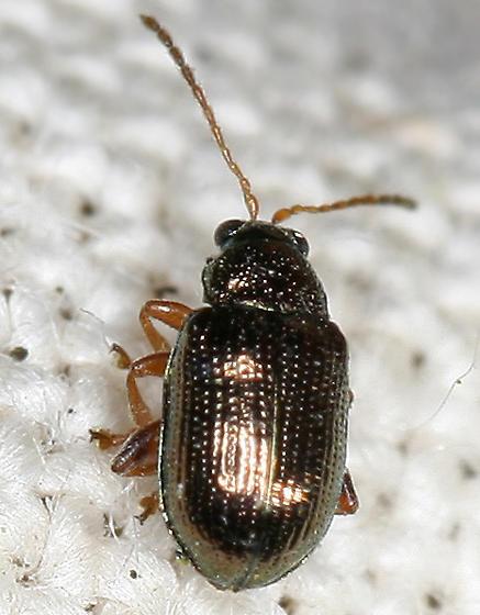 metallic leaf beetle  - Crepidodera