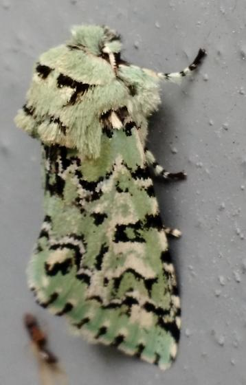 Joker Moth-profile - Feralia