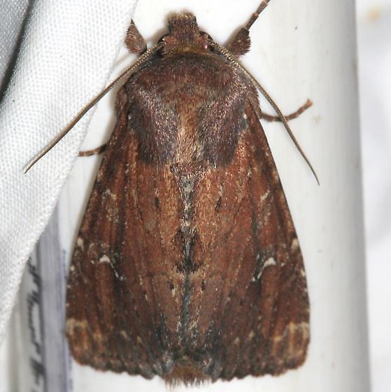 Moth - Apamea scoparia