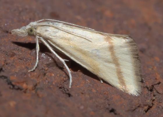 Tan moth with light brown stripes - Microtheoris vibicalis