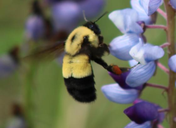 Bombus affinis - female