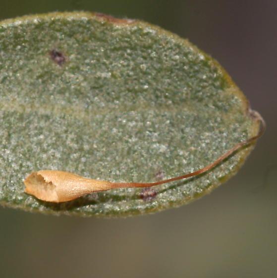 Stalked oak gall - Andricus pedicellatus
