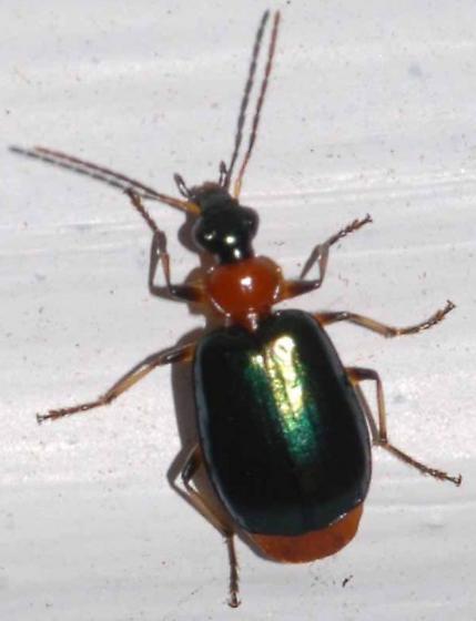 Lebia viridipennis - Green-winged Lebia? - Lebia viridipennis