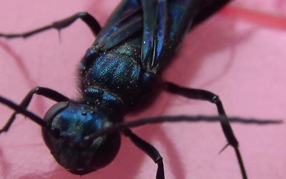 Sexing a Blue Mud Wasp - Chalybion californicum - male