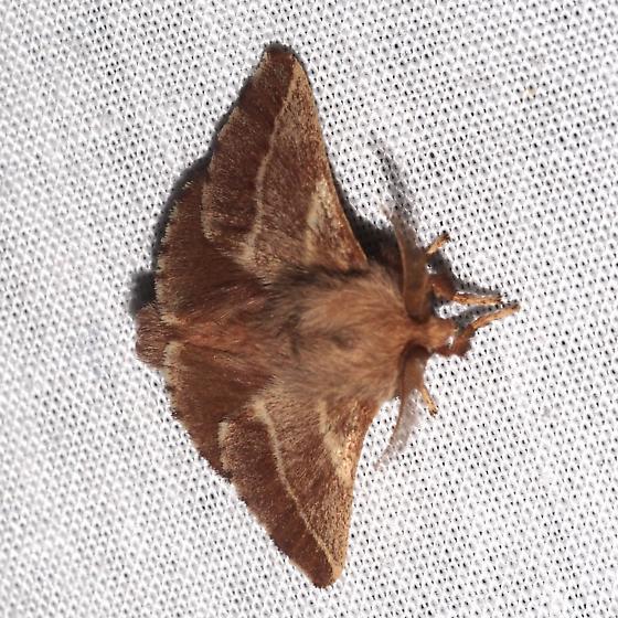 Species ID Request - Malacosoma americana