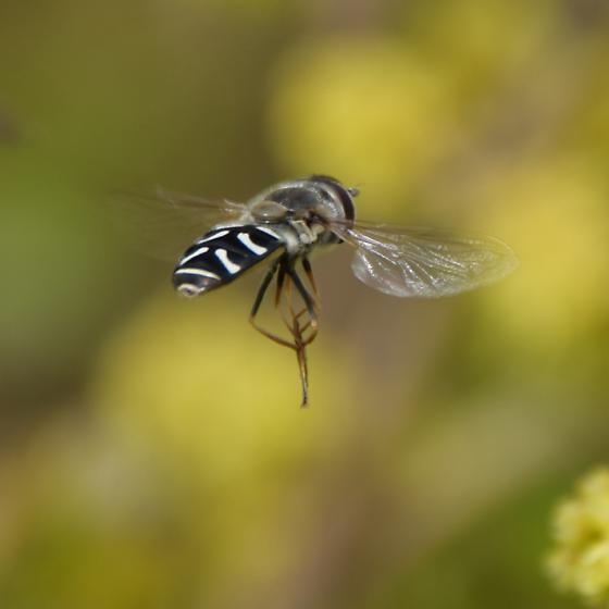 Syrphidae - Scaeva pyrastri