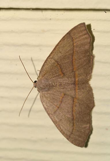 Moth - Lambdina - female