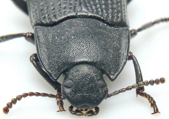 Alaetrinus - Alaetrinus aciculatus