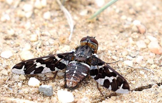 Veiled Bee Fly - Exoprosopa caliptera