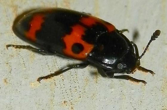 Beetle - Megalodacne fasciata