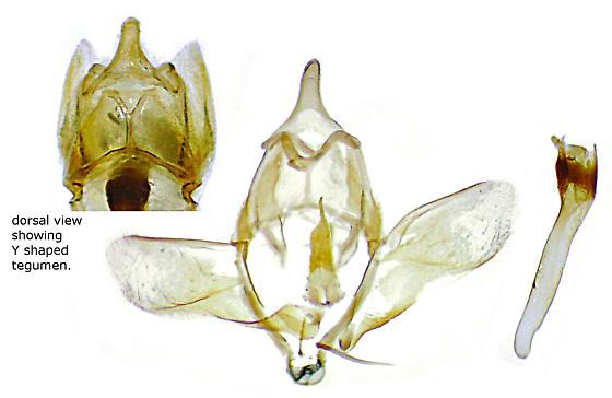 Donacaula dispersellus - Hodges#5316.1 - Donacaula dispersellus - male