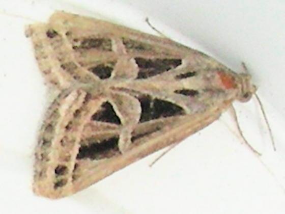 Moth # 07-264 - Callistege intercalaris