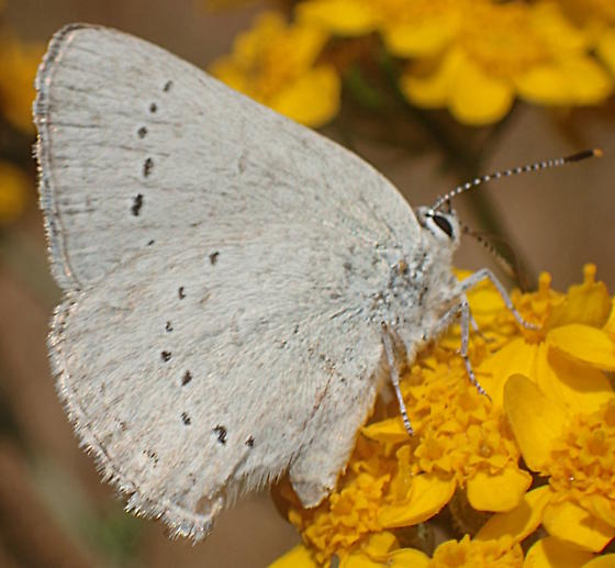 Is this Celastrina echo - Celastrina echo