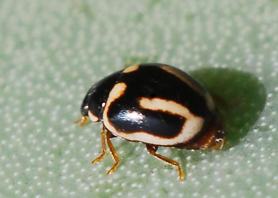 Ladybird beetle, associated with cochineal - Hyperaspis trifurcata