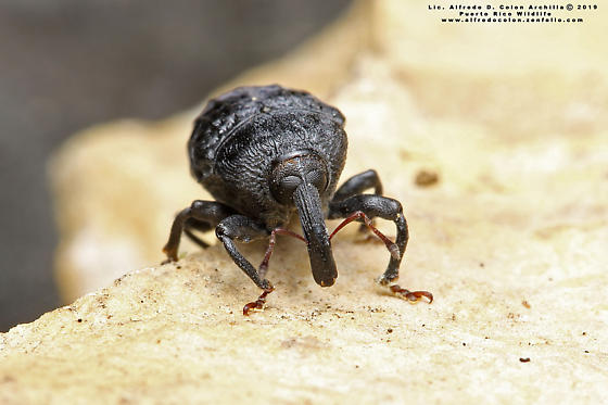 Pear-shaped Weevil? - Rhyssomatus