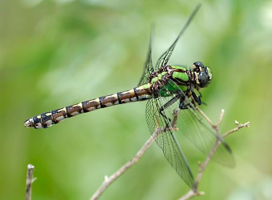 Boreal snaketail - Ophiogomphus colubrinus - female