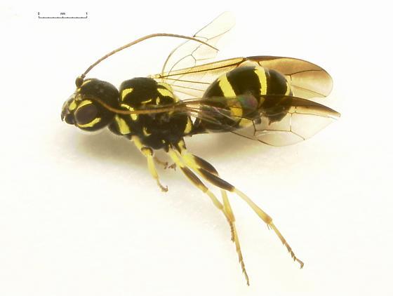 Trigonalidae - Taeniogonalos gundlachii