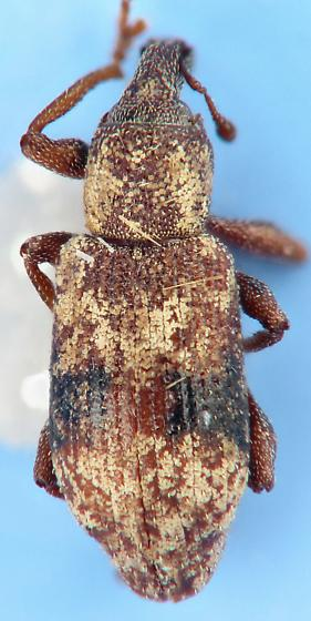 snout beetle - Listronotus delumbis