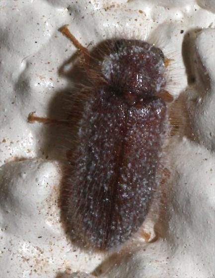 Hairy Brown Beetle - Rhadalus