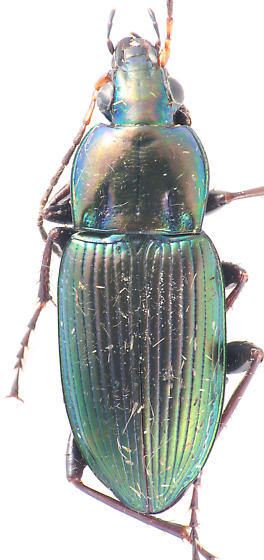 another Pterostichini? - Poecilus chalcites