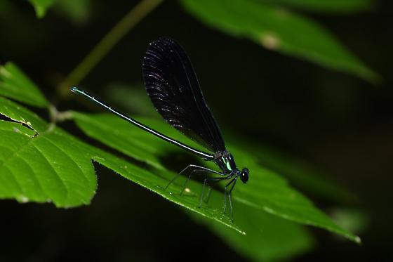 Ebony Jewelwing, male - Calopteryx maculata - male