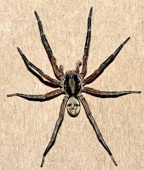 Wolf Spider - Geolycosa fatifera - male