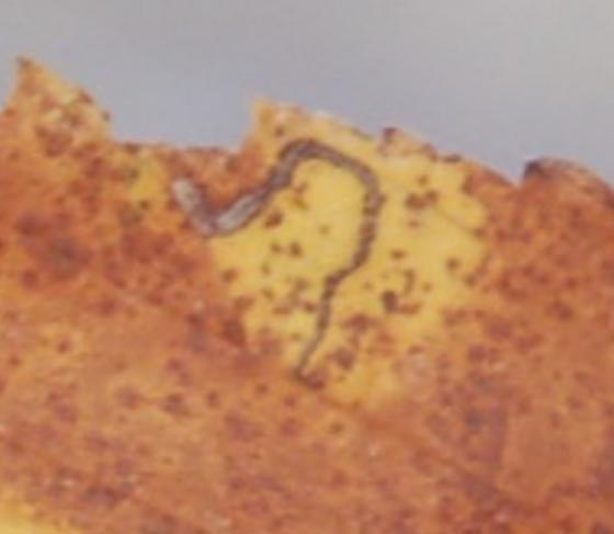 St. Andrews leaf miner on Ulmus rubra SA1180 2017 1 - Stigmella apicialbella