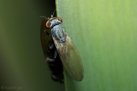 powder blue fly for id - Parochthiphila