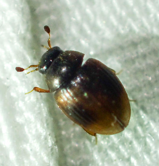 Rotund beetle with clubbed antennae - Nitidulidae?