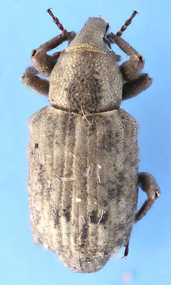 Weevil #25 - Lissorhoptrus oryzophilus
