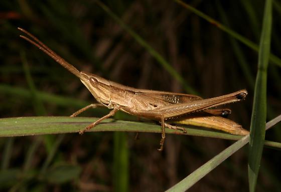 Acrididae, Short-winged Toothpick Grasshopper - Pseudopomala brachyptera - male