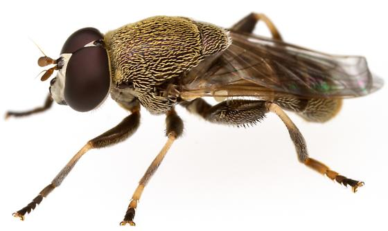 Male, Myolepta cornellia?  - Myolepta cornellia - male