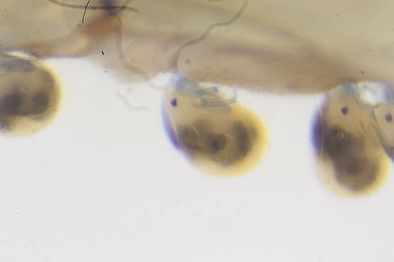 Unknown mite on damselfly - Arrenurus