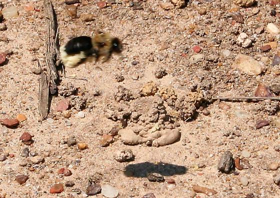 Which Bumble Bee? - Ptilothrix bombiformis - female