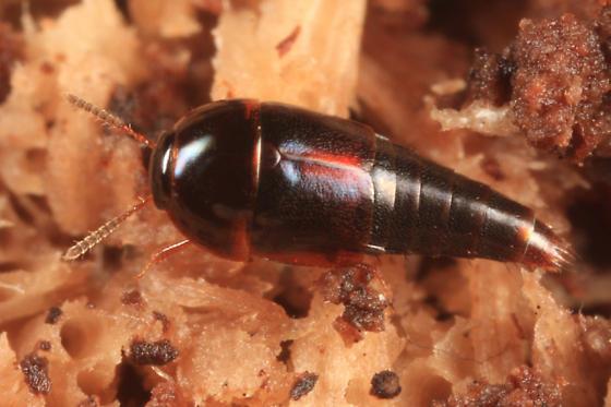 rove beetle - Coproporus ventriculus