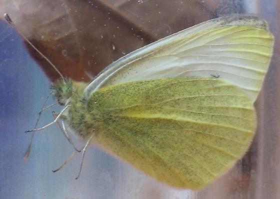 Cabbage White - emerged - Pieris rapae