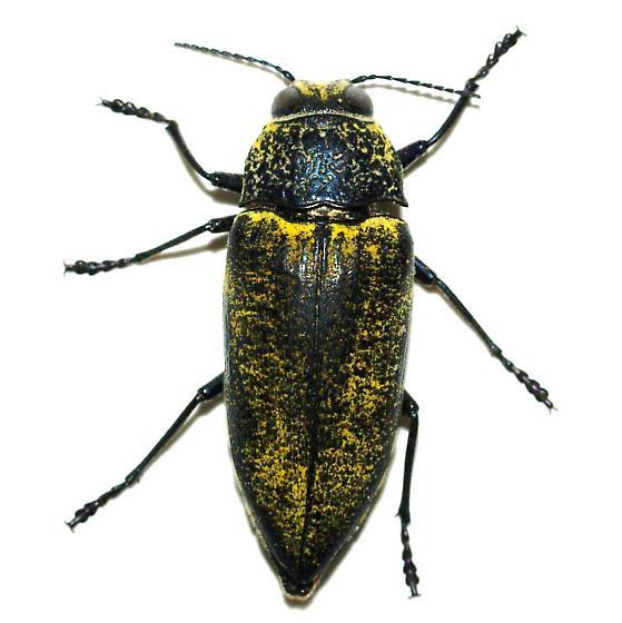 It kept its scales!  - Gyascutus caelatus