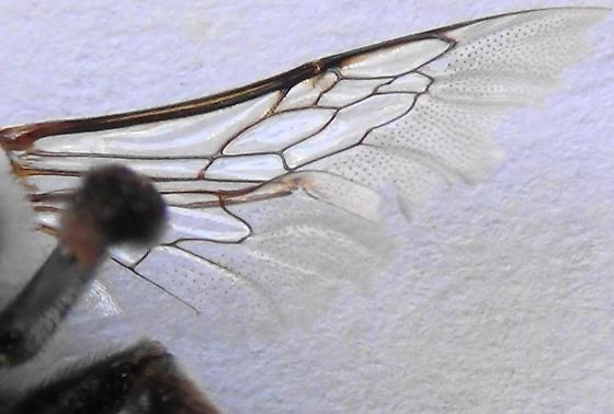 The Pale Bee (wing pattern) - Centris pallida - female