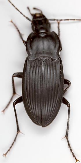 Ground Beetle - Dicaelus elongatus