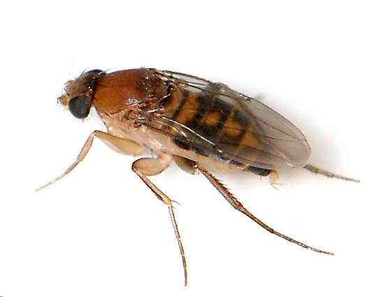 Scuttle Fly - Megaselia scalaris - male